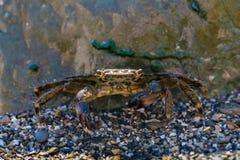 掩藏在一块大石头后的小的螃蟹 免版税库存图片