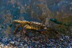 掩藏在一块大石头后的小的螃蟹 库存图片