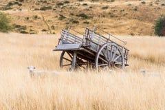 掩藏在一辆木无盖货车前面的南美大草原的绵羊 库存图片