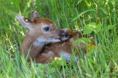 掩藏在与头的草的白尾鹿小鹿 库存照片