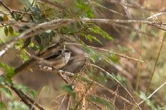 掩藏在丛林的长尾的山雀 库存图片