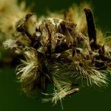 掩藏在凋枯的花的蜘蛛 库存照片