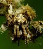 掩藏在凋枯的花的蜘蛛 库存图片