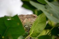 掩藏在叶子后的共同的绿色鬣鳞蜥 免版税库存照片