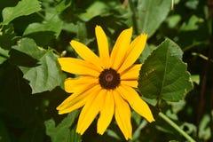 掩藏在叶子后的美丽的黑眼睛的苏珊 库存照片