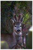 掩藏在坟园的鹿 免版税库存照片
