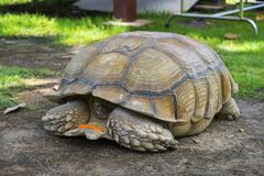 掩藏在壳的乌龟 库存图片