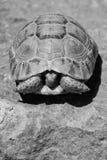 掩藏在壳的草龟 免版税库存图片