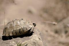 掩藏在壳的草龟 免版税图库摄影