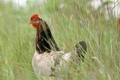 掩藏在大草的母鸡 库存图片