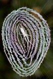 掩藏在它的网中间的蜘蛛从鸟的注意眼睛 免版税库存照片