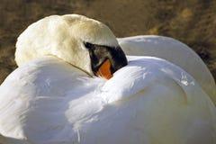 掩藏在它自己的全身羽毛的疣鼻天鹅 图库摄影