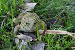掩藏在密集的草的池蛙 免版税库存图片
