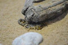 掩藏在岩石下的蝎子 库存照片