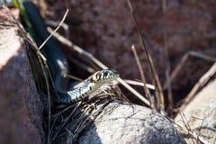 掩藏在岩石中的蛇 库存图片