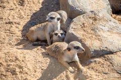 掩藏在岩石后的Meerkats小组 免版税库存照片