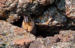掩藏在岩石的野生勇敢的土拨鼠 免版税库存图片