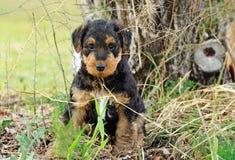 掩藏在庭院灌木的逗人喜爱的黑蓬松小狗 免版税库存图片