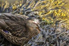 掩藏在有角的失事船只海草的母野鸭鸭子 免版税库存图片