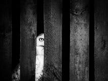掩藏在木分开后的斯诺伊猫头鹰 免版税库存照片