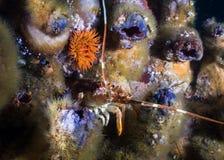 掩藏在某一Redbait之间的礁石的大螯虾/小龙虾 库存图片
