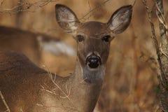 在树之后的白尾母鹿 免版税库存图片
