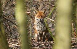 掩藏在树后的一只观看的镍耐热铜狐狸狐狸在下木 免版税库存图片