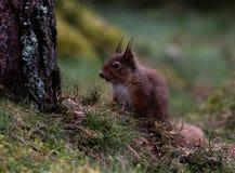 掩藏在树后的红松鼠 免版税库存照片