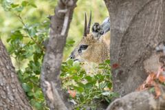 掩藏在树后的Klipsringer公羊 免版税库存图片