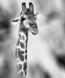 掩藏在树和看后的好奇长颈鹿 免版税库存照片