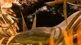 掩藏在棕色叶子的Bardick蛇 股票录像