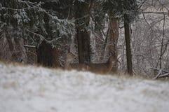 掩藏在森林的白尾鹿 库存照片