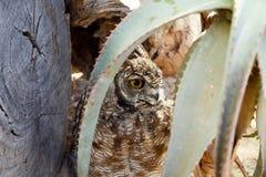 掩藏在植物后的猫头鹰 免版税库存照片