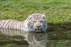 掩藏在水中的白色老虎从热 免版税库存图片