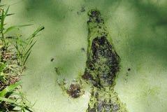 掩藏在海藻盖子水中的鳄鱼 免版税库存图片