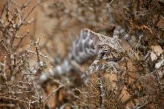 掩藏在灌木的变色蜥蜴 免版税库存照片