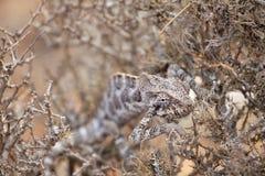 掩藏在灌木的变色蜥蜴 免版税库存图片