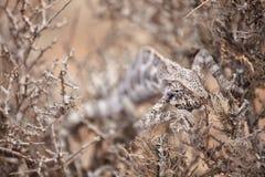 掩藏在灌木的变色蜥蜴 免版税图库摄影