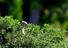 掩藏在灌木的灰鼠 免版税库存照片