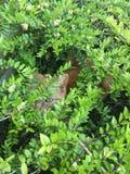 掩藏在灌木的猫 免版税库存照片