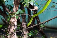 掩藏在灌木的绿眼镜蛇 免版税库存照片