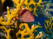 掩藏在火珊瑚的Freckeled hawkfish 免版税库存照片