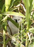 掩藏在玉米田的猫 免版税库存图片