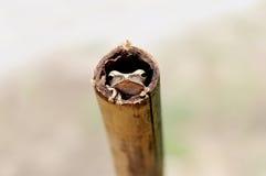 掩藏在竹子的逗人喜爱的青蛙 免版税库存照片