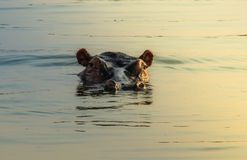 掩藏在艾伯特湖中水的河马的头  免版税库存照片