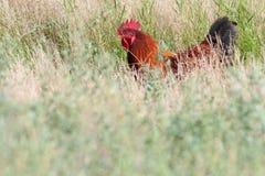 掩藏在草的大雄鸡 库存图片
