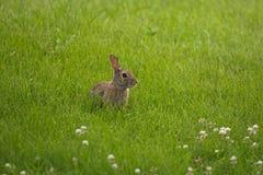 掩藏在草的幼小小兔 库存照片