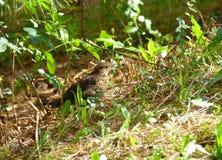 掩藏在草的母黑鹂 库存照片