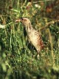掩藏在草的秧鸡类在早日出的时候 库存图片