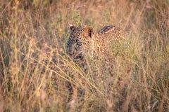 掩藏在草的豹子 库存图片